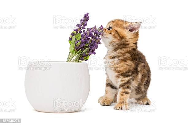 Kitten and a vase with lavender flower picture id637930276?b=1&k=6&m=637930276&s=612x612&h=2nwthsoemxuvkr7w0nipdfwpto6ye67s6gidtyryfc4=