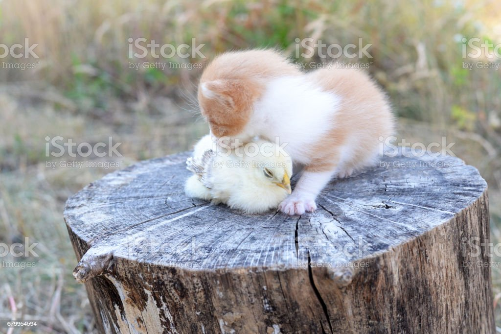Kitten and baby chick sleep together stock photo