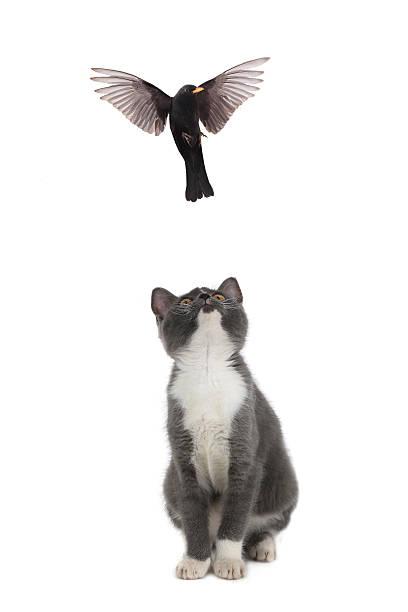 Kitten and blackbird picture id478549514?b=1&k=6&m=478549514&s=612x612&w=0&h=omde2evdbzse1vs7zrklpawzqcfwzpksmcw wzmrlre=