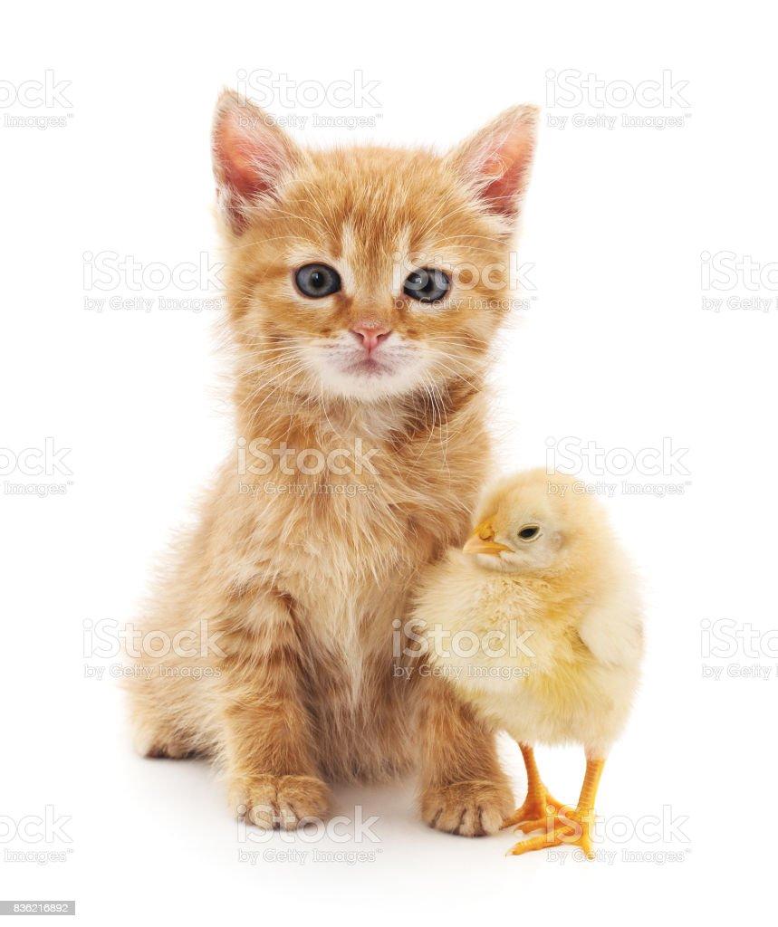 Kitten and chicken. stock photo