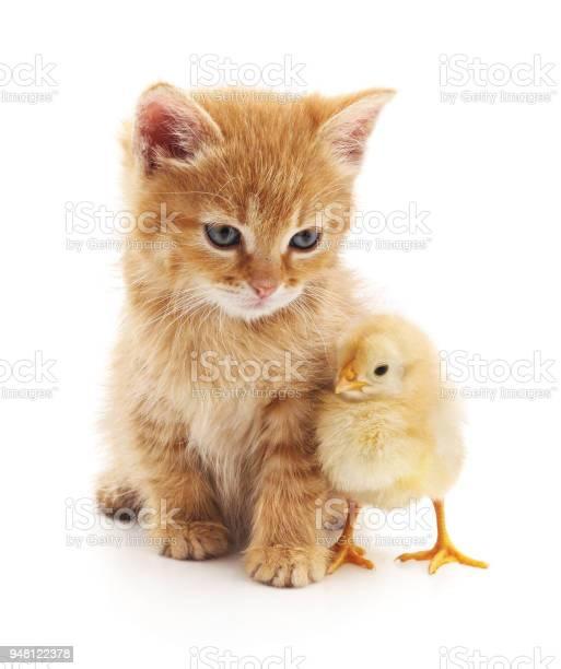Kitten and chicken picture id948122378?b=1&k=6&m=948122378&s=612x612&h= rb39teavahmhu ov iyyxwgbbp4sguqepkm0a2maiy=
