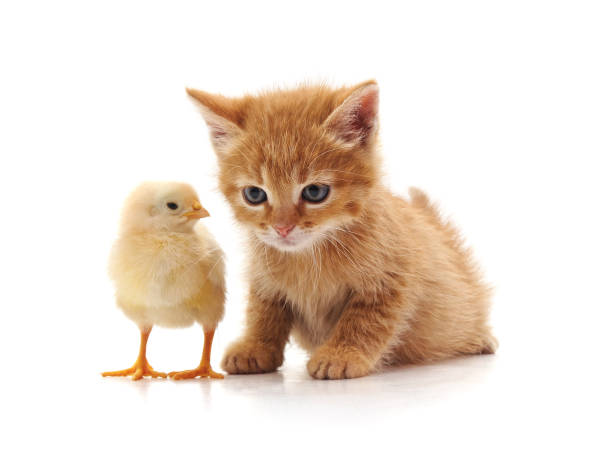 Kitten and chicken picture id975932054?b=1&k=6&m=975932054&s=612x612&w=0&h=vb8mm mres7qpi3zj15lqj3aip9aqhbsimxvlqq6fte=