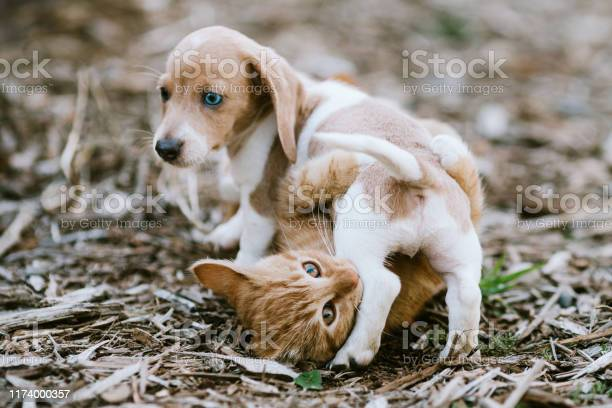 Kitten and dachshund puppy wrestle outside picture id1174000357?b=1&k=6&m=1174000357&s=612x612&h=olzwf31t2ughrcqgnx2vph zxuan1lb f1qwdlw2xds=