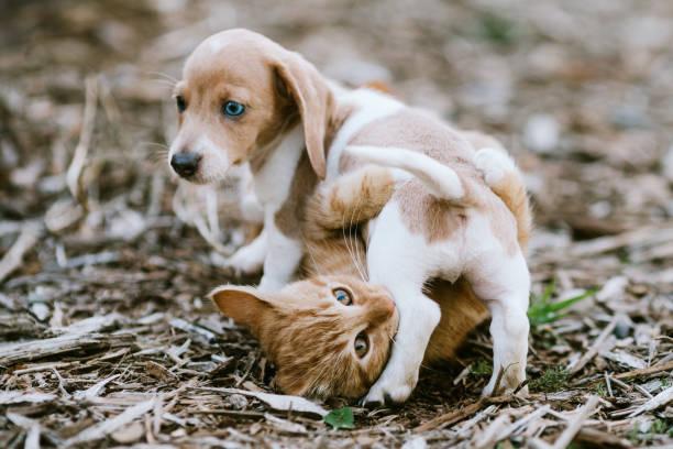 Ein Kätzchen und Dackel Welpen Wrestle draußen – Foto