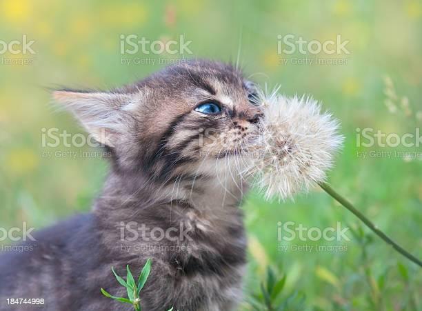 Kitten and dandelion picture id184744998?b=1&k=6&m=184744998&s=612x612&h=wxx5bftu dwfd9 42zpfpeirrvyje4w6mrwg6y6h3je=