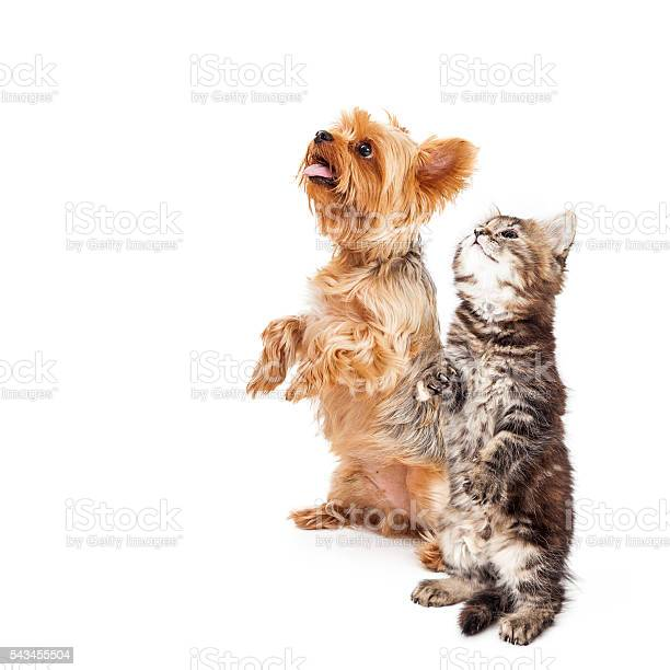 Kitten and dog begging together with copy space picture id543455504?b=1&k=6&m=543455504&s=612x612&h=uij1mu4 gxvwglyeg9kbt5jqk pss17hq25veyry8yy=