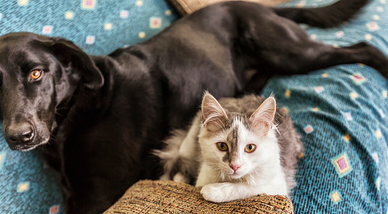 A new gray and white male kitten and an older black mixed breed female dog are sharing the living room couch together. Some motion blur on the dog. Canon 5D Mark III.