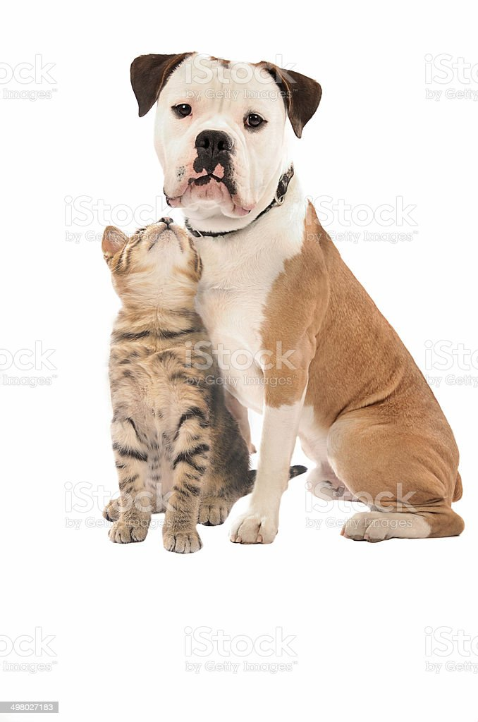 kitten and dog on white stock photo