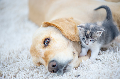 A golden retriever dog and a kitten are indoors in a living room. The dog is laying on the carpet. The kitten wants to play with the dog.