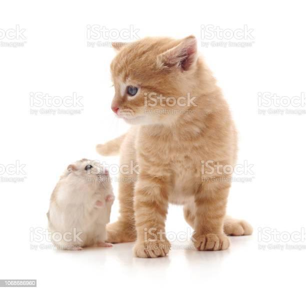 Kitten and hamster picture id1068686960?b=1&k=6&m=1068686960&s=612x612&h=7m6ze1wi0h2orh2wzquzwqyy yhg9e8f2anub9qngr4=