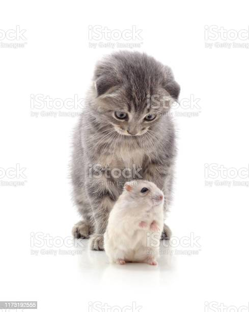 Kitten and hamster picture id1173192555?b=1&k=6&m=1173192555&s=612x612&h=ugdc4xmr9bw67ccd4yitijr2on8ixinrzcsj1i4eho4=