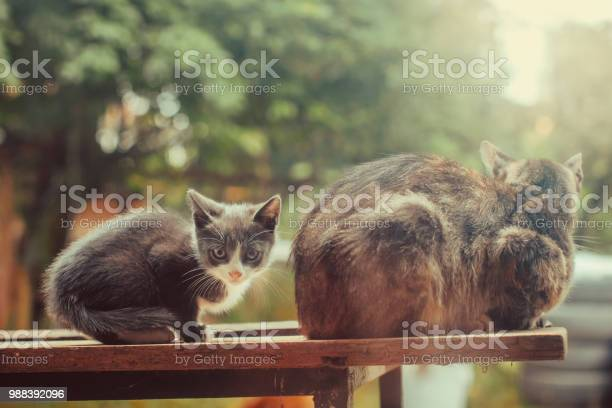 Kitten and mother picture id988392096?b=1&k=6&m=988392096&s=612x612&h=pgxfg18qzvzbax04uqmegiql3mkmzbddioncdc2oppe=
