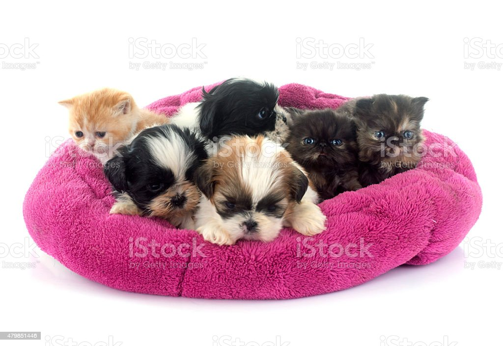 kitten and puppies in front of white background