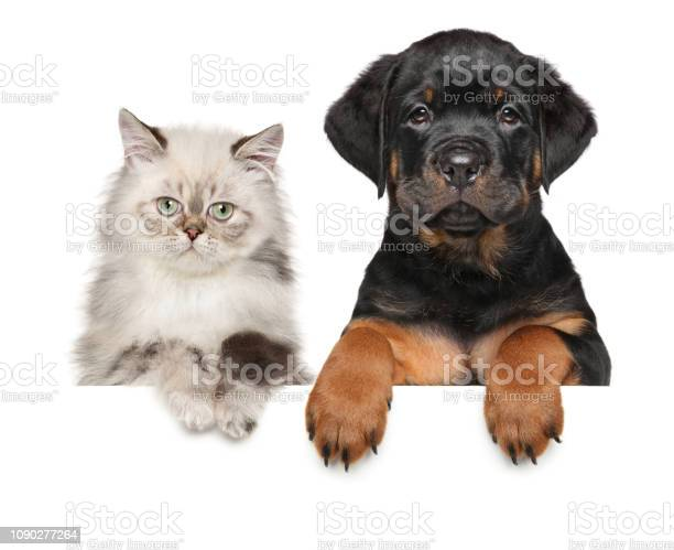 Kitten and puppy above banner picture id1090277264?b=1&k=6&m=1090277264&s=612x612&h=1sv4ktf qykskd7w5dlw1ujw8t4m2xz0dyjfrelsipi=
