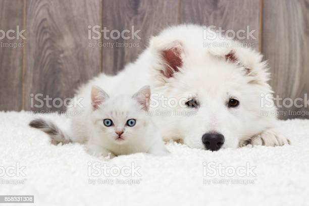 Kitten and puppy on a fluffy carpet picture id858331308?b=1&k=6&m=858331308&s=612x612&h=n2p9suxvlddkvqvcoc 6eopzwjj7uqutcx0nffnv1bw=