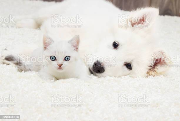Kitten and puppy on a fluffy carpet picture id858331310?b=1&k=6&m=858331310&s=612x612&h= n44znpo3r6eg60rkqjepxom1m9vpzzsc9nufjz1nzk=