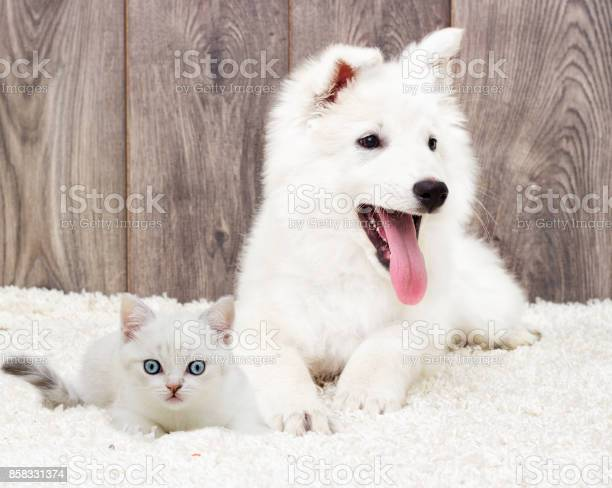 Kitten and puppy on a fluffy carpet picture id858331374?b=1&k=6&m=858331374&s=612x612&h=zpg2gxrfhocelfotsuqhtoumf1q3muztcgqdd7xh3ne=