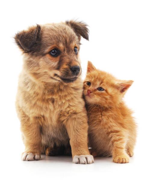 Kitten and puppy picture id802480368?b=1&k=6&m=802480368&s=612x612&w=0&h=bbcutrbr88ub 6g63k5wkypiv3kxjnaszerl2 cuxmg=