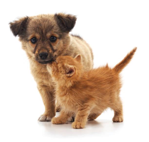 Kitten and puppy picture id953435652?b=1&k=6&m=953435652&s=612x612&w=0&h=i1jc6kjhtvr0jkwqwnq5ukeedcjshnapksxo jasnwm=