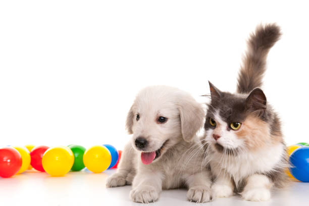 Kitten and puppy playing with colorful balls picture id840428038?b=1&k=6&m=840428038&s=612x612&w=0&h=w6ubckl7in4wu8ujrwpwwhhvdnbj7trfolomdxsfxrg=