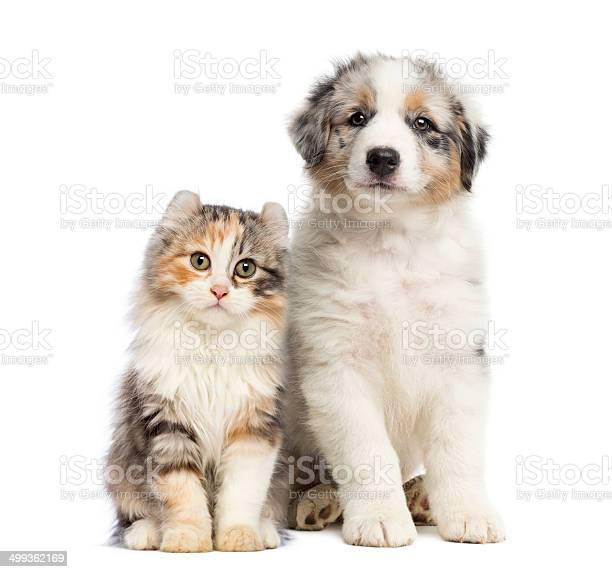 Kitten and puppy sitting isolated on white picture id499362169?b=1&k=6&m=499362169&s=612x612&h=76aepfw 5deizrfjcq 1nimlddjxvohgyoc4cigukge=