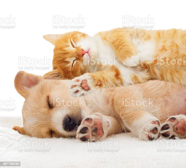 Kitten and puppy sleeping picture id487768282?b=1&k=6&m=487768282&s=612x612&h=go6cdv6xlwnnnwce0fl5 gvqfiafpcz yhs2qblxwlm=