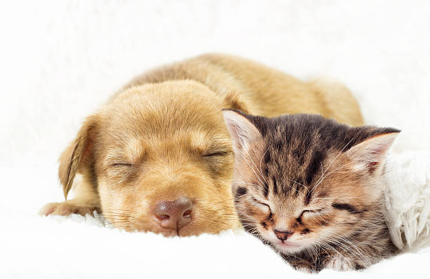 Kitten and puppy sleeping picture id585595914?b=1&k=6&m=585595914&s=612x612&w=0&h=lp7uqy1ytp5fbrxtzxv7i2ukyukdsxbk3zcpcoonaa4=