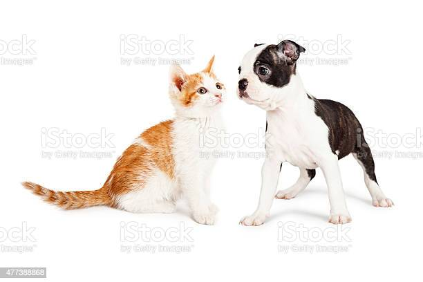 Kitten and puppy staring at each other picture id477388868?b=1&k=6&m=477388868&s=612x612&h=qp8j bi89nc6yg0adxzo 8vco1uoc5x65smu6axodf0=