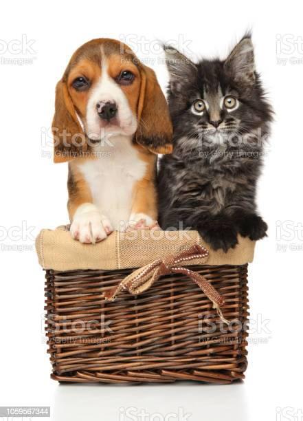Kitten and puppy together in wicker basket picture id1059567344?b=1&k=6&m=1059567344&s=612x612&h=jphztinfoseejsyfus3yp9lnj drbgq757 9 ehr6k0=
