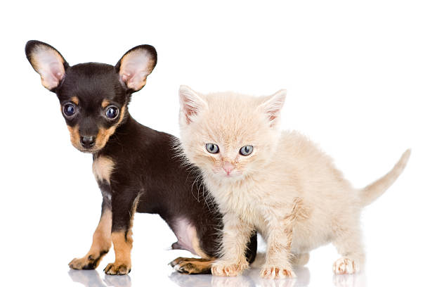 kitten and puppy with astonishment look the kitten and puppy with astonishment look. focus on a kitten. isolated on white background newborn animal stock pictures, royalty-free photos & images