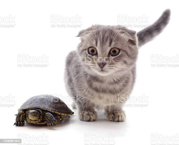 Kitten and turtle picture id1208961942?b=1&k=6&m=1208961942&s=612x612&h=ztwsptytwnsy iubs3mvn3oo4auawsjtfbsoksrlbxy=