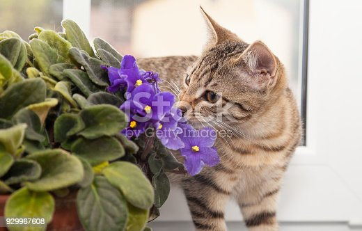 tabby kitten sniffling at african violet flower