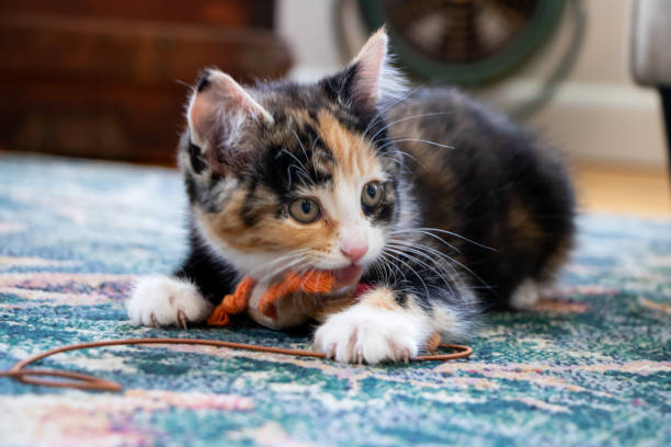 Kitten biting cat toy Calico kitten playing with orange and brown toy on string tortoiseshell cat stock pictures, royalty-free photos & images