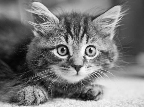 Kitten black and white picture id805816484?b=1&k=6&m=805816484&s=612x612&w=0&h=eusw bzt4kjebnosa7ut93nd5h9sf1b0a0 xwfgqigi=