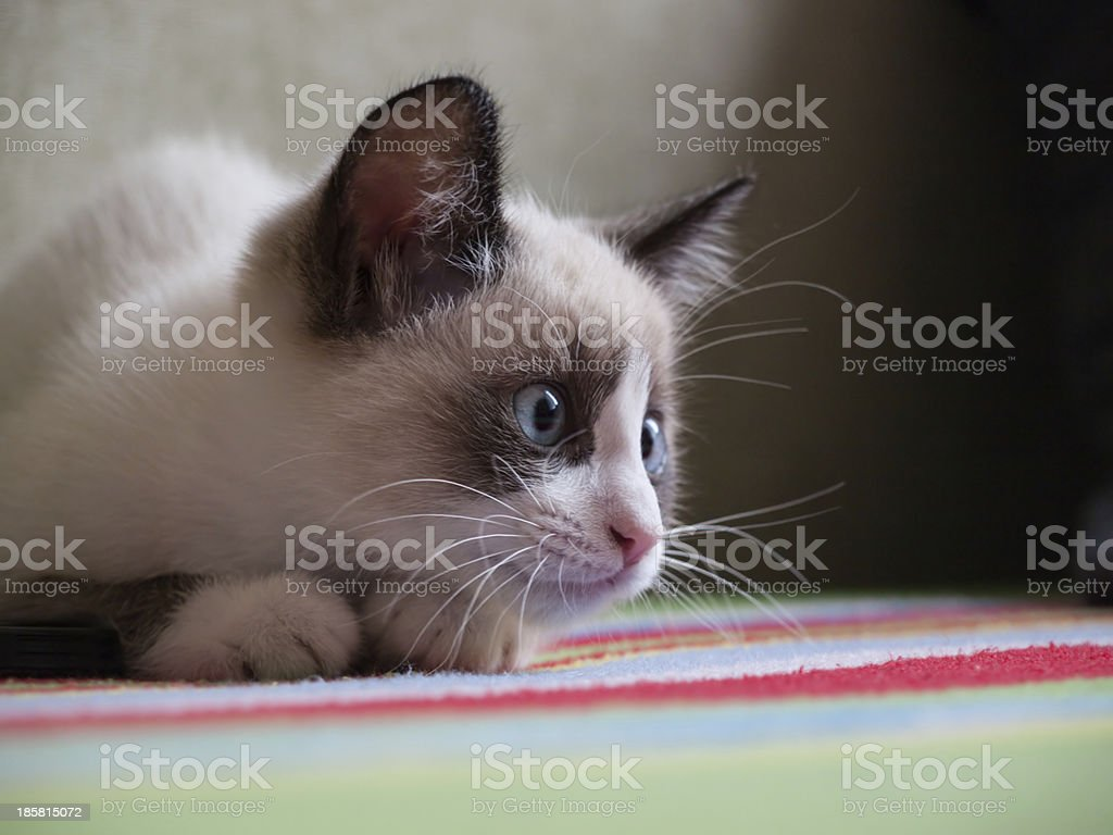 kitten breed snowshoe, two monthes royalty-free stock photo