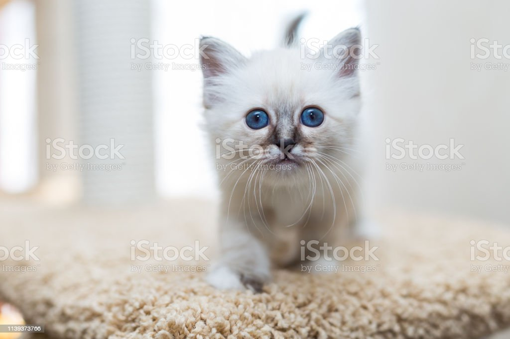 Kitten Cat Breed Sacred Burma On A Light Background Stock Photo Download Image Now Istock