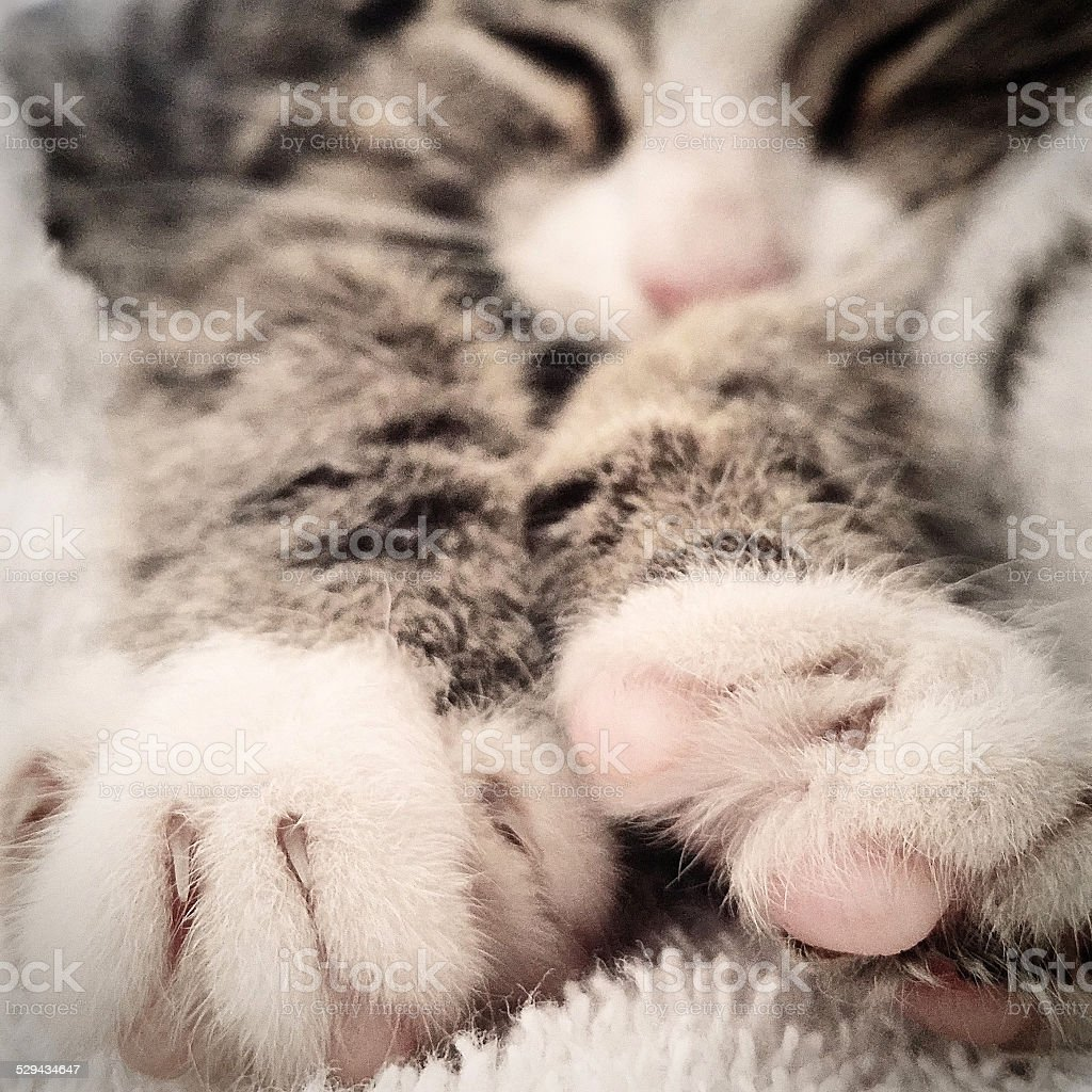 Kitten - cat sleeping stretching out stock photo