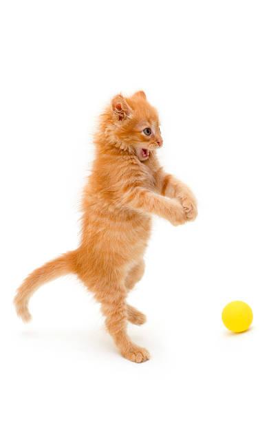 Kitten catch ball picture id176961054?b=1&k=6&m=176961054&s=612x612&w=0&h=lel2 fye2olq3ydvynojhvinckphyxrbsyorwg3 weu=
