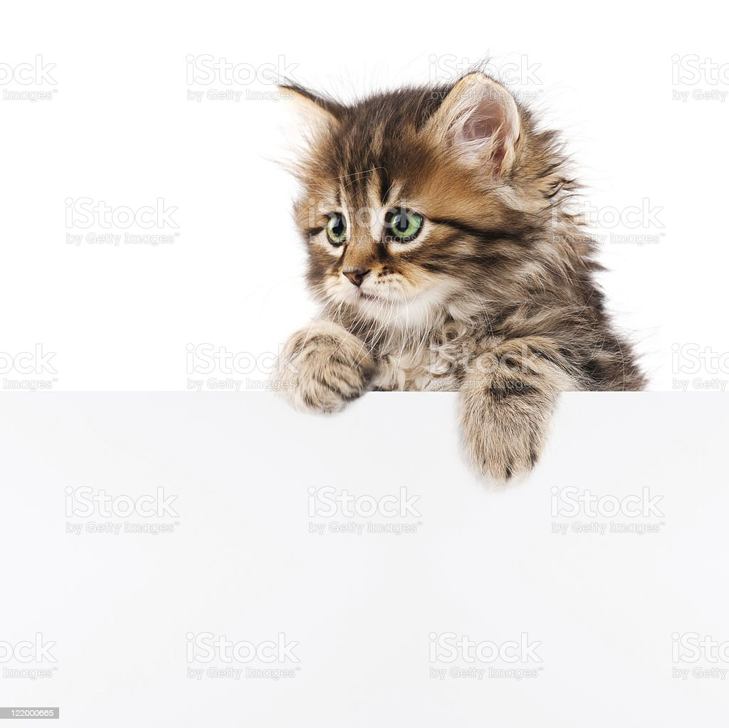 A kitten climbing over a white wall - Royalty-free Animal Stock Photo
