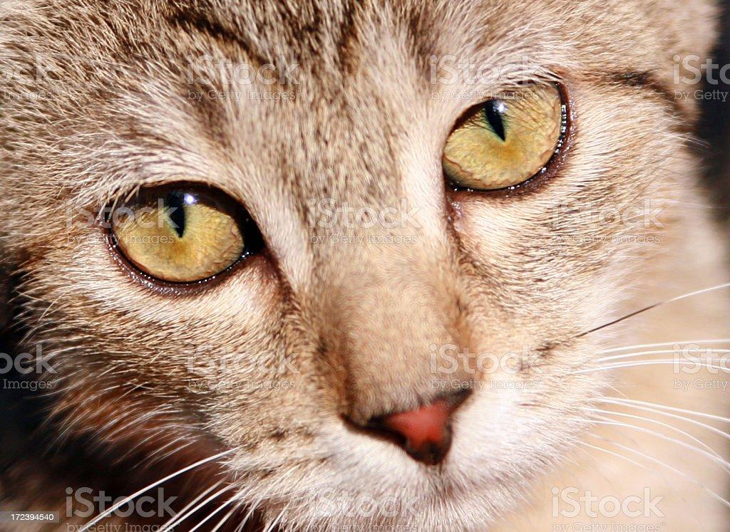 Kitten Closeup royalty-free stock photo