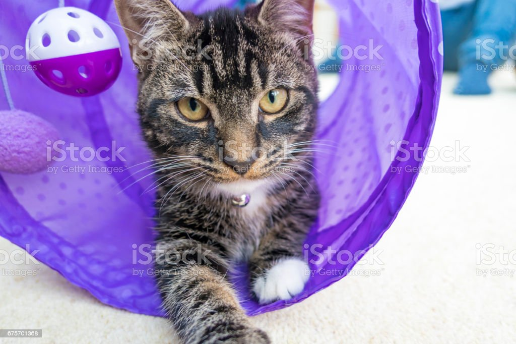 Kitten coing out of a Purple Tube royalty-free stock photo