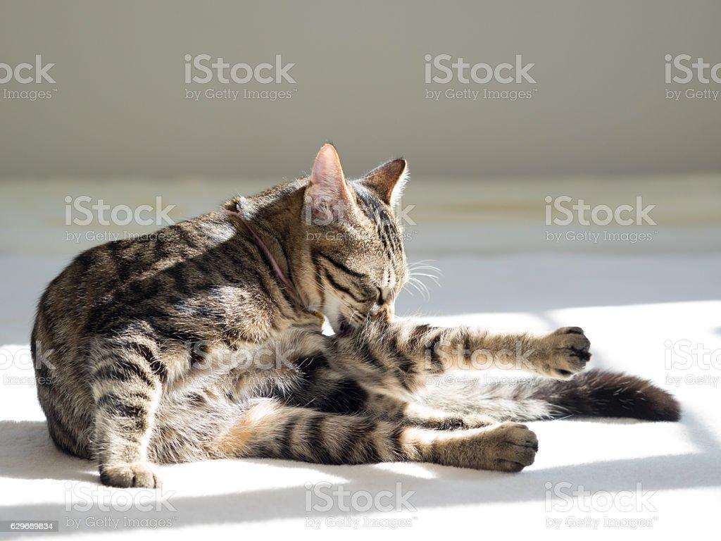 Kitten doing hair coat stock photo