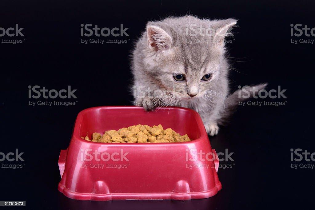 kitten eat diet food stock photo