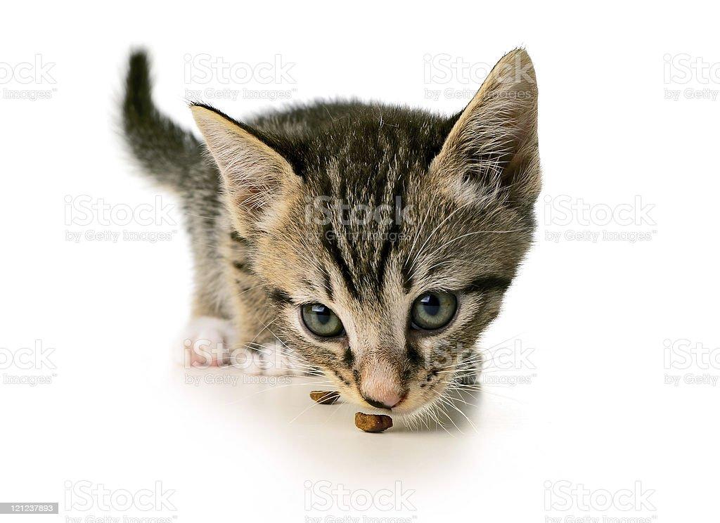 Kitten eating royalty-free stock photo