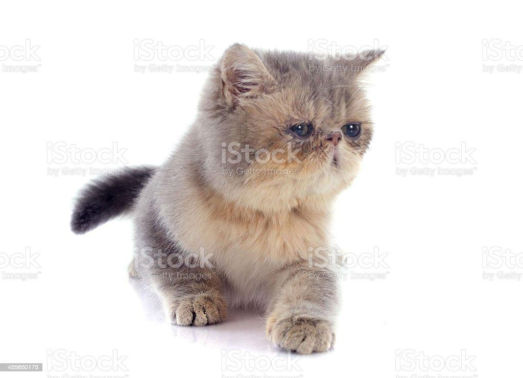kitten exotic shorthair stock photo