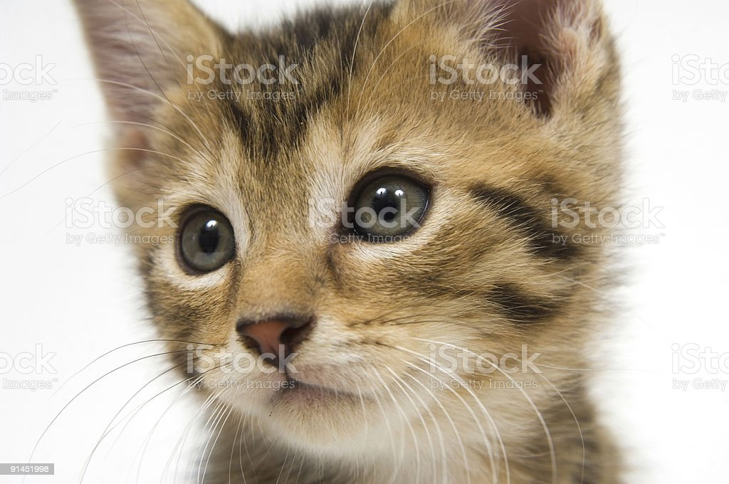 Kitten face royalty-free stock photo