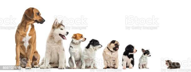 Kitten facing dogs of different heights isolated on white picture id859703978?b=1&k=6&m=859703978&s=612x612&h=5d vybcaarep 0kic2gwuzcnz1rd3r3yv9bba1 scpe=