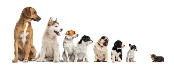 Kitten facing dogs of different heights isolated on white picture id859703978?b=1&k=6&m=859703978&s=612x612&w=0&h=cdbrnf6uga2js3p9p6kbmlqu2sv721pgmlt4fygrhjk=