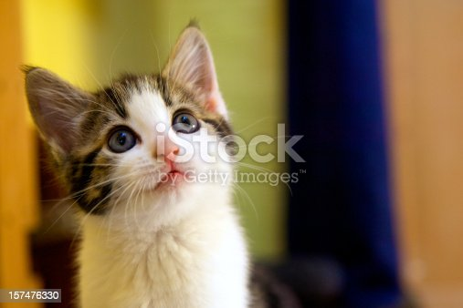Young kitten aged 6 to 8 weeks looking upward.