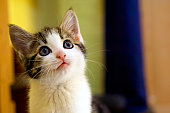 Kitten facing up with a questioning facial expression